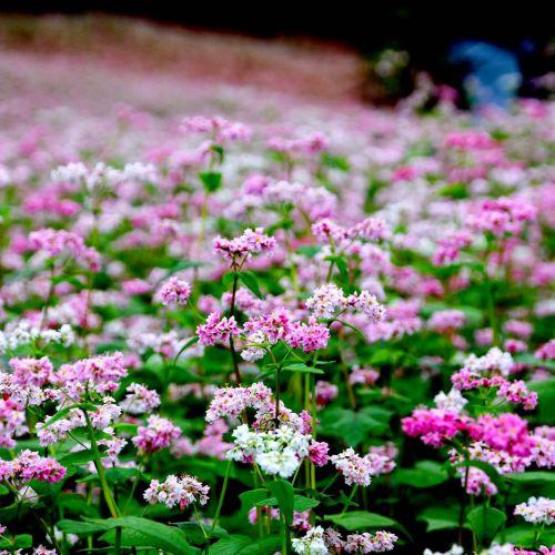 Lạc lối giữa rừng hoa tam giác mạch Hà Giang